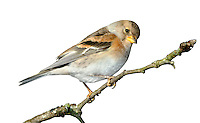 Brambling - Fringilla montifringilla - female. L 14-15cm. Distinctive finch with white rump. Sexes are dissimilar. Adult male in winter has orange throat, breast and lesser wing coverts; underparts are white with small dark spots on flanks. Head and back are darkish but with pale feather fringes. Dark wings have pale feather margins and whitish orange wingbars. Bill is yellow. In breeding plumage (sometimes acquired here) head, back and bill are black. Adult female has similar markings to winter male on wings, breast and underparts but head is grey brown with dark lines on sides. Juveniles are similar to winter adults but duller. Voice Calls include a harsh eeerrp. Song is series of buzzing notes. Status Mainly a common winter visitor, found mainly in mature Beech woodland. A few pairs breed.