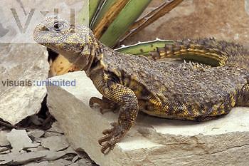 Saharan Spiny-tailed Lizard ,Uromastyx geryi, female, Africa ,Uromastyx geryi,