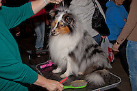 Brown,black,white and grey show dog on the grooming table at the International dog Show in Prague in May 2014. Left, owner holding up the lead in left hand, on the table grooming equipment