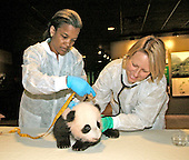 The giant panda cub at the Smithsonian's National Zoo had its eighth health exam this morning, Oct. 12, 2005. Assistant Curator Lisa Stevens measures the male cub while Chief Veterinarian Suzan Murray listens to its heart and lungs. The cub, born on July 9, now weighs 12.7 pounds and is 25.5.inches long. National Zoo staff also noted that the cub now has upper and lower incisor and canine teeth. The National Zoo's three giant pandas live at the Zoo's Fujifilm Giant Panda Habitat.