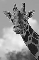 "Early written records described the giraffe as ""magnificent in appearance, bizarre in form, unique in gait, colossal in height and inoffensive in character."