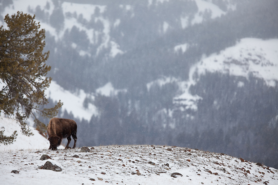 A single buffalo highlights the contrast between it and the snowy forest in the distance.