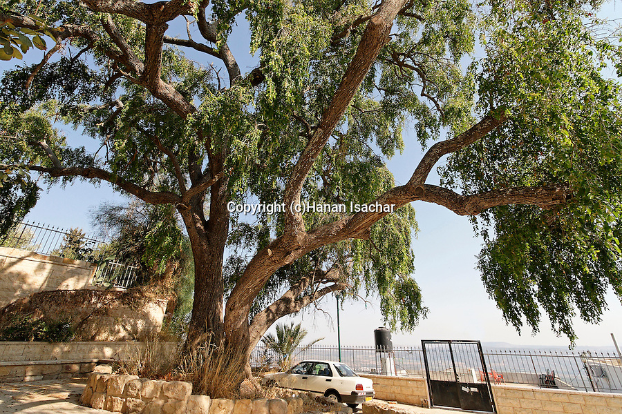 Israel, the Lower Galilee. Jujube tree in Mrar