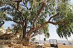 Israel, the Lower Galilee. Jujube tree in Mrar