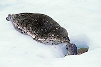 Harbor Seal (Phoca vitulina) mother with young pup on small glacieral iceburg, Alaska.  Females often give birth on these small protected icebergs.