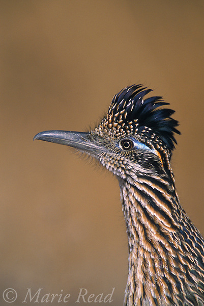 Greater Roadrunner (Geococcyx californianus) adult close-up, New Mexico, USA<br /> Slide # B69-61