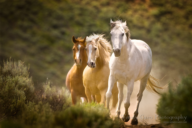Three mustangs galloping in the brush, with dust in background, coming head on.