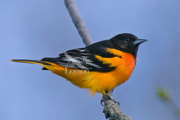 Male Baltimore Oriole or Northern Oriole (Icterus galbula).  Spring.  Great Lakes Region.
