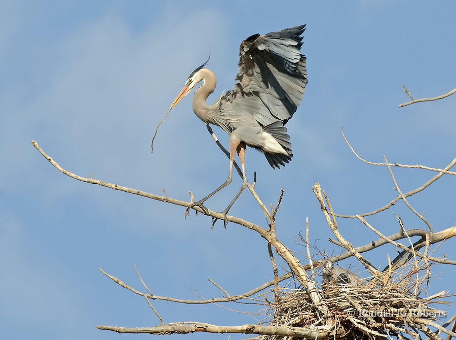 Great Blue Heron (Ardea herodias), balances on a branch while positioning himself to deliver nesting material to his mate, below right.