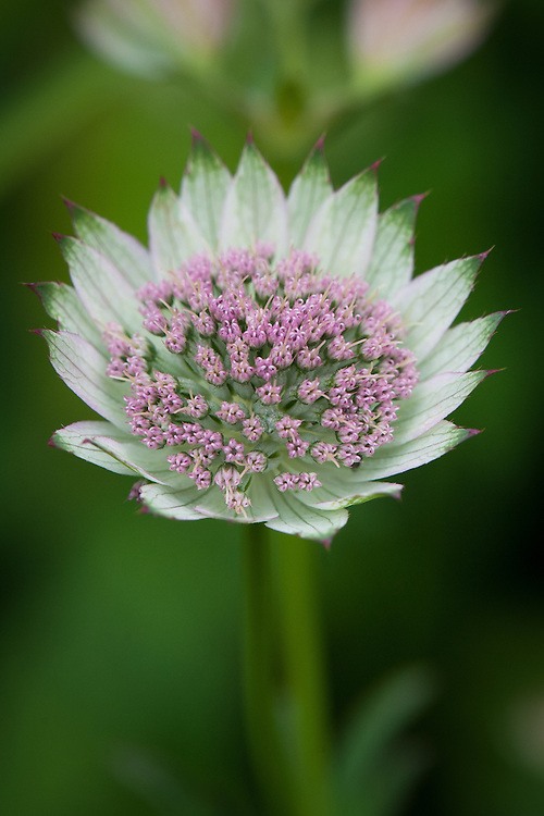 """Astrantia major 'Buckland', early July. """"The pale green ruff of bracts and rosy pink stamens make for a flower of great beauty. An old clone now that can still hold its head high. 60cm."""" [Marchants Hardy Plants]"""