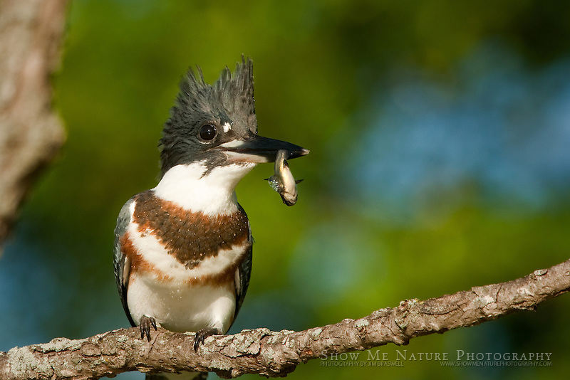 Belted Kingfisher with fish, Missouri