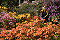 10/05/17<br /> <br /> After six weeks without significant rainfall Vanessa Brookfield, 39, waters the azalea bed at Lea Gardens. Owner Pete Tye said: &quot;We're hoping for rain later this week, but if it stays dry we'll have to continue to water by hand which can take our team eight hours each day&quot;.<br /> <br /> <br /> All Rights Reserved F Stop Press Ltd. (0)1773 550665 www.fstoppress.com