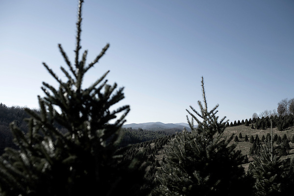 """November 23, 2008. Ashe County, NC.. The Christmas tree industry in Ashe County..At the Miller's Christmas Tree Farm, 360.982.3088, Highway 16 N.. All the land for the farm used to be for cattle, but due to the difficulty of independent ranching, the farm was turned over to trees years ago.. Mr. Miller sells most of his trees wholesale in the week leading up to Thanksgiving, the busiest in the industry, and then sells the rest in the """"Choose and Cut"""" retail business."""