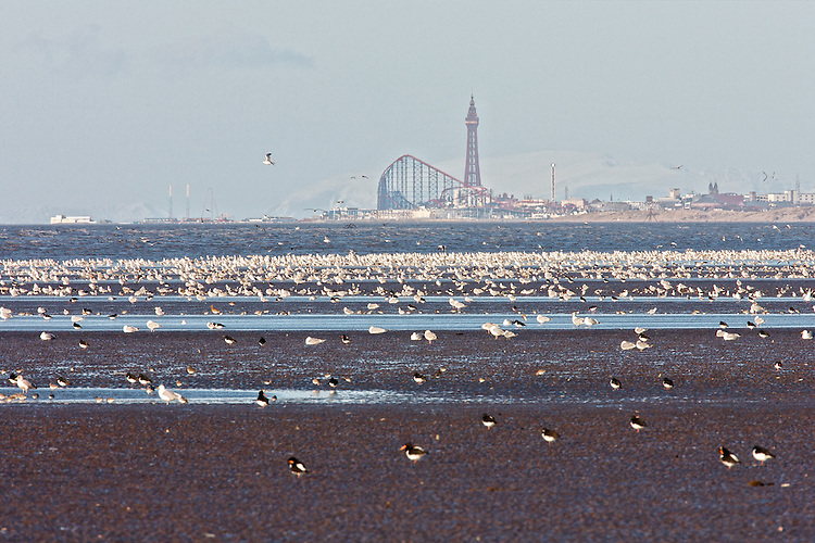 Herring Gulls, Oystercatchers (Haematopus ostralegus) and the odd Carrion Crow take advantage of the bounty available on a super low Spring tide in Winter, against the backdrop of the Blackpool Tower and the Pleasure Beach, wiht the mountains of the lake Dristrict and Cumbria beyond as viewed from Formby, along the Sefton Coast. The Heysham Nuclear Power station sits to the far left, across in Morcombe Bay. Nationally important sand dune Systems at St. Annes to the far right.