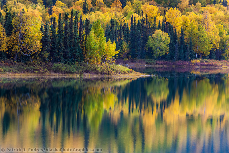 Autumn foliage on the boreal forest leaves surrounding the X - Y lakes near Talkeetna, Alaska.