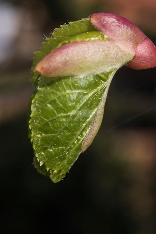 Hollandse linde (Tilia cordatra x platyphylla) knop