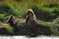 Kurilskoe Lake Preserve is a world heritage site although it has serious poaching problems.  A mother brown bear crawls from the water after feeding her two young cubs a meal of fresh salmon.