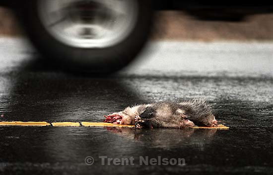 Dead possum. Roadkill<br />