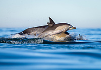 long-beaked common dolphin, Delphinus capensis, mother and calf, False Bay, South Africa, Atlantic Ocean