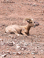 0607-1103  Bighorn Sheep (Mountain Sheep), Ovis canadensis  © David Kuhn/Dwight Kuhn Photography