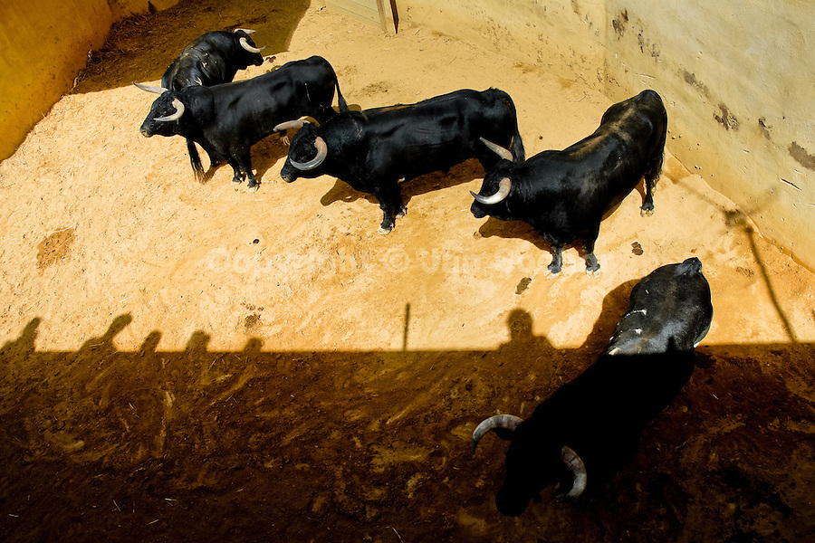 Fighting bulls kept in the corral behind the bullfighting arena before Corida de Toros, Torremolinos, Spain, 28 July 2006.