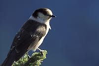 Gray jay on branch of subalpine fir, Mazama Ridge, Mount Rainier National Park, Lewis County, WA