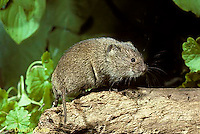 MU30-012z  Meadow Vole - Microtus pennsylvanicus