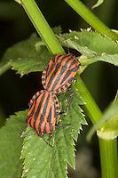 Streifenwanze, Streifen-Wanze, Kopulation, Paarung, Graphosoma lineatum, , Italian Striped-Bug, Striped-Bug, Minstrel Bug, copulation