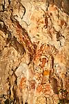 Prehistoric rock art on a cliff face near Mai Mai village, Namatota Strait, near Kaimana, Papua. Reptile and human forms are represented.