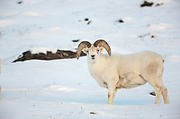 Dall sheep ram in the snow along the Brooks Range mountains in Atigun canyon.