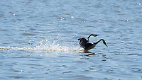 A pair of Western Grebes, Aechmophorus occidentalis, fall forward into the water after performing a mating dance known as rushing or racing, on Upper Klamath Lake, Oregon