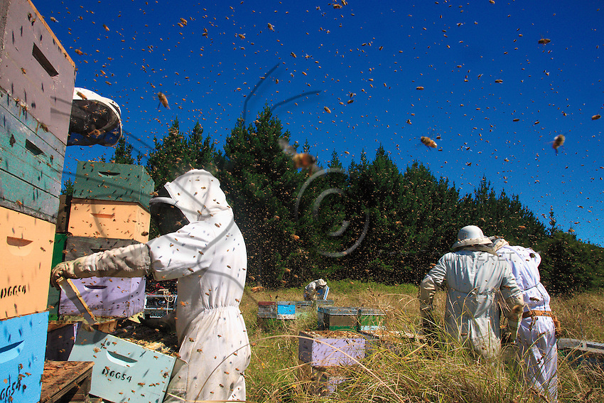 During the harvest, thousands of bees of the Italian subspecies fly this way and that around the beekeepers. The guardian bees' stings can do nothing against this two-legged predator who, protected by his overalls, doesn't fear their attacks.