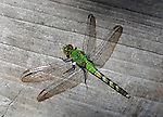 Dragonfly seen in the Esopus Bend Nature Preserve in Saugerties, NY, on Monday, July 11, 2016. Photo by Jim Peppler. Copyright Jim Peppler 2016. x