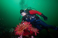 Scuba diver Suelaine Gin  observes some colorful anemones underwateer in Haida Gwaii, British Columbia, Canada.