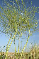 Asparagus - Asparagus officinalis