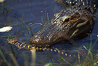 Alligator with its young, in water, Everglades National Park. Florida.