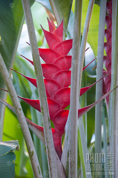 Red heliconia Caribaea lobster claw, Kauai