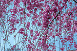 Pink cherry (Prunus sp.) blossoms vibrate against the blue of the sky, Kyoto, Japan<br /> Canon EOS-1D X, EF70-200mm f/4L USM lens, f/22 for 1/80 second, ISO 4000