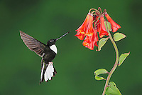 Collared Inca (Coeligena torquata), male feeding from Bomarea flower, Papallacta, Ecuador, Andes, South America