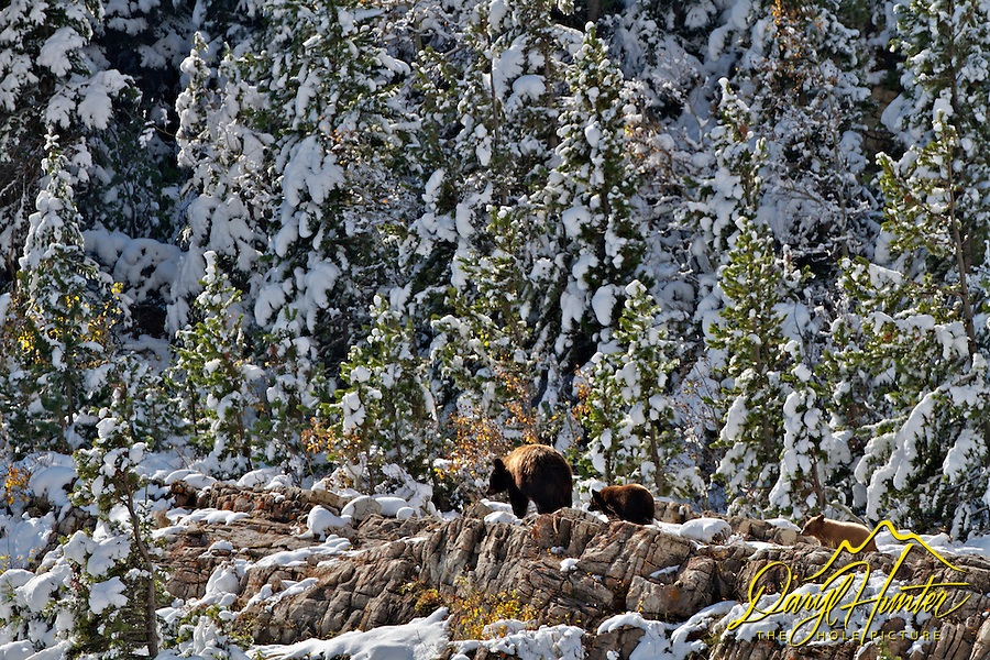 Black Bear sow and cubs, Autumn, new snow, Glacier Natinal Park