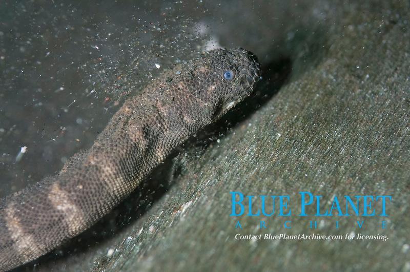 Marine File Snake, Acrochordus granulatus, on black sand, night dive, Bethlehem dive site, Poopoh, Manado, Sulawesi, Indonesia, Pacific Ocean