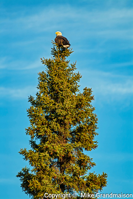 Bald Eagle (Haliaeetus leucocephalus) in spruce tree on shore of Lake of  the Woods<br />