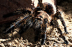 Tarantula, Curly Hair, Brachypelma Albopilosa, by rock....