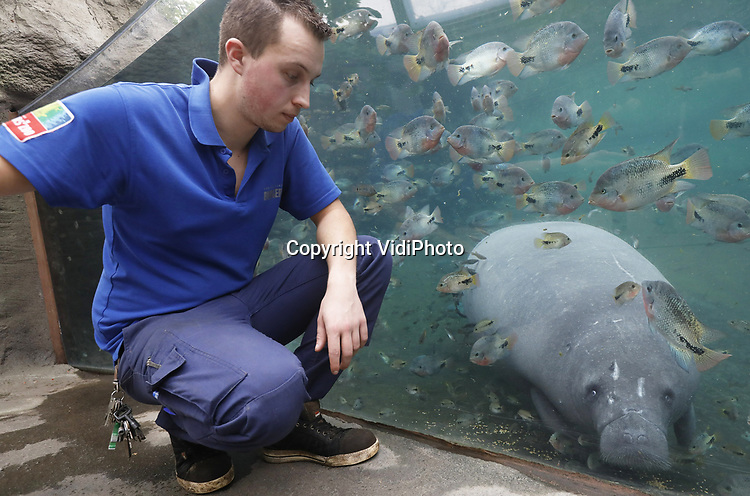 Foto: VidiPhoto<br /> <br /> ARNHEM &ndash; Dierverzorgers in de Mangrove van Burgers&rsquo; Zoo in Arnhem houden donderdag het 5,5-jarige Caribische zeekoevrouwtje scherp in de gaten. Het dier is drachtig en kan zelfs ieder moment bevallen. Biologen en dierverzorgers van het Arnhemse dierenpark verwachten de geboorte deze maand of in februari. Een precieze uitgerekende datum is erg lastig te bepalen: Caribische zeekoeien kennen namelijk een draagtijd tussen de 12 en 14 maanden. Biologen en dierverzorgers gaan er vanuit dat het Caribische zeekoevrouwtje drachtig is, omdat ze een bult rondom haar vulva vertoont. Bovendien zijn er sinds lange tijd geen paringen meer geconstateerd. Sinds enkele weken zijn echter ook de tepels duidelijk zichtbaar van dit dier, hetgeen erop lijkt te duiden dat de geboorte aanstaande is. Koninklijke Burgers&rsquo; Zoo is het enige dierenpark in Nederland waar zeekoeien leven. De laatste zeekoeien werden in Arnhem in 1993 en 1995 geboren, dus het gaat om een zeldzame geboorte. Ook in de rest van Europa komen zeekoeiengeboortes maar weinig voor. In Europese dierentuinen leven in totaal namelijk slechts 35 Caribische zeekoeien: 21 mannetjes en 14 vrouwtjes.