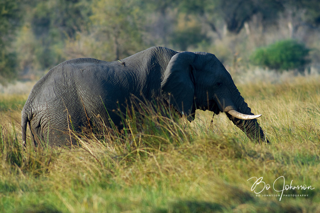Elephant (loxodonta africana) grazing in Moremi, Botswana. <br /> September 2007.