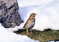 Singdrossel, im Schnee, Sing-Drossel, Drossel, Turdus philomelos, Song Trush, La Grive musicienne