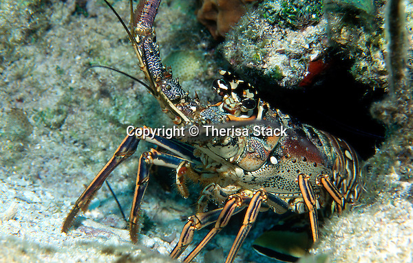 Spiny Lobster, Panulirus argus