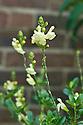 Salvia greggii 'Sungold', mid June.