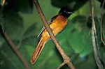 Red Bellied, Black Headed, Paradise Flycatcher, Terpsiphone rufiventer, female, on branch, West Africa.