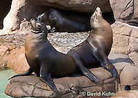 0406-1005  Pair of California Sea Lions Sun Bathing, Zalophus californianus  © David Kuhn/Dwight Kuhn Photography.